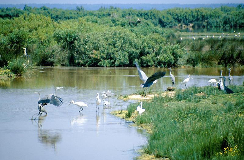 Hérons et spatules sur la réserve ornithologique du Teich